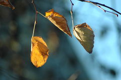 Leaves. Autumnal leaves on branch, shall depth of field Royalty Free Stock Image