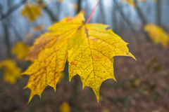 Leaves in autumnal colors at foggy morning in a forest Royalty Free Stock Photo