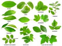 Leaves av frukt och bärbuskar och trees Arkivbilder