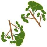 Leaves av ginkgobilobaen royaltyfri fotografi