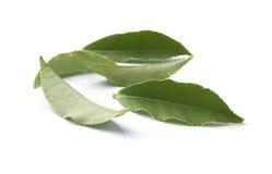 Leaves av tea arkivbild