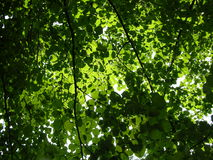 Leaves Background.  Royalty Free Stock Images