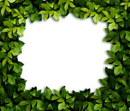 Leaves background. The ornament. Green laurel Leaves background Royalty Free Stock Image