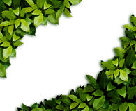 Leaves background. The ornament. Green laurel Leaves background Stock Photography