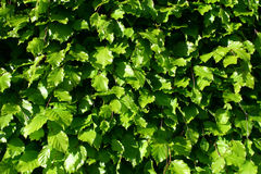 Leaves background. Green leaves outdoors in the sun Royalty Free Stock Photography