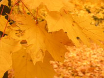 Leaves background. Great texture of autumn leaves Stock Images