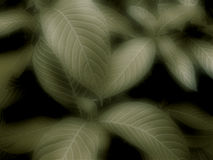 Leaves Background. A background of soft dark green leaves Royalty Free Stock Image