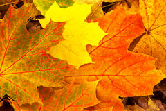 Leaves background  autumn Stock Photography