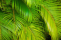 Leaves background. Background from green leaves of palm tree Stock Images
