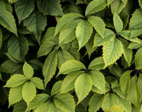 Leaves background. Background of ivy leaves. Green plant texture Stock Image