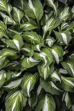 Leaves background. Background of large leaves of green and white colors Royalty Free Stock Image