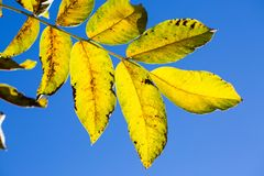 Leaves in the backlight, bright blue sky Stock Photo