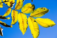 Leaves in the backlight, bright blue sky Stock Photography