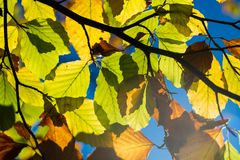 Leaves in the backlight, bright blue sky Royalty Free Stock Photo