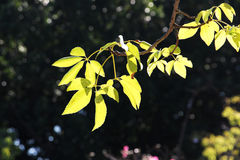 Leaves in backlight. A detailed view of the leaves of a big tree, in backlight, in a bright sunny day, landscape cut Stock Images