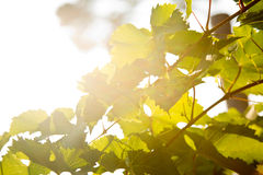 Leaves backlight Royalty Free Stock Photo