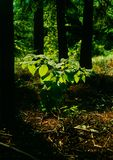 Leaves with backlighting. Illustrations,summer woods stock photos
