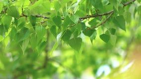 Leaves backlit. Summer poplar tree stock video footage