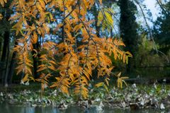 Leaves of bald cypress. Bald cypress Taxodium distichum in Aun at a lotus pond stock images