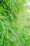Leaves bamboo forest Royalty Free Stock Image