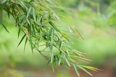 Leaves Bamboo Stock Photos