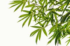 Leaves of bamboo on white background Stock Photography