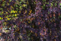 Leaves of barberry close-up. Barberry branch in the spring. Waiting for the harvest royalty free stock photos