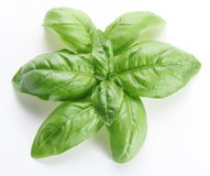 Leaves of basil Stock Images