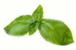 Leaves of basil Royalty Free Stock Image