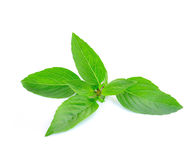 Leaves of basil Stock Photos
