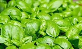 Leaves of basil. Green leaves of fresh basil Stock Images