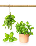 Leaves of basil, hanging bundle and plant in pot Royalty Free Stock Image