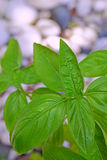 Leaves of Basil plant with grey and white pebble stones in the background Royalty Free Stock Photography