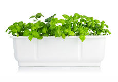 Leaves basil in white bucket Stock Photo