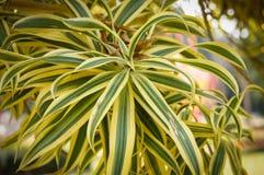 Dracaena reflexa or Song of India. Leaves beautiful Dracaena reflexa or Song of India Stock Photography