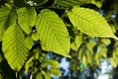 Leaves of a beech Royalty Free Stock Images
