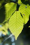 Leaves of a beech Royalty Free Stock Image