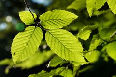 Leaves of a beech Royalty Free Stock Photo