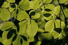 Leaves of a Beech (Fagus) Stock Images