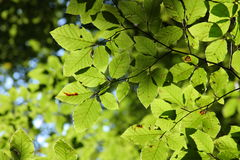 Leaves of beech Royalty Free Stock Photos