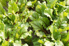 Leaves of beet plants. Stock Photos