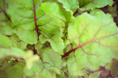 Leaves of beetroot plants in garden Stock Image