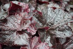 Leaves of Begonia in cloudy weather background, texture, stock photos