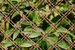 Leaves behind the fence. A wall of leaves behind the fence Stock Photography