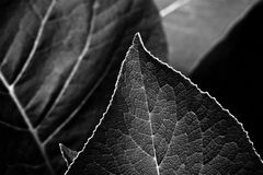 Leaves being. Leaves on the edge of abstract in black and white Royalty Free Stock Photo