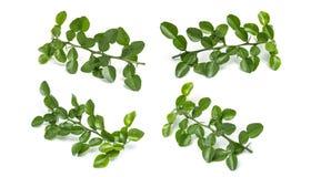 Leaves of Bergamot tree or kaffir lime leaves isolated on white. Background stock images