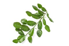 Leaves of Bergamot tree or kaffir lime leaves isolated on white. Background. Top view stock photography
