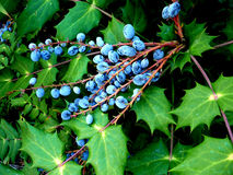 Leaves And Berries 3 Royalty Free Stock Photography