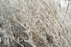 Leaves and berries covered with hoarfrost Royalty Free Stock Image