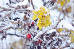 Leaves and berries of a dogrose with icicles under sleet. Leaves and berries of a dogrose with icicles under a sleet. Abstract winter background Stock Images